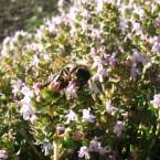 fleur de thym+abeille